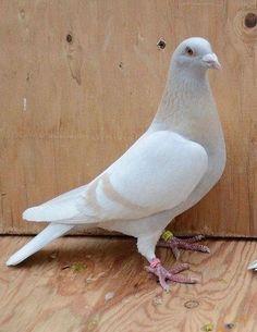 Cute Pigeon, Pigeon Bird, Green Pigeon, Beautiful Birds, Animals Beautiful, Racing Pigeon Lofts, Pigeons For Sale, Pigeon Pictures, Pigeon Breeds