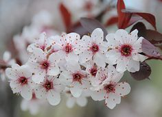 Purple Leaf Sand Cherry Tree Flowers