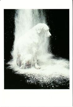 Dusted - William Wegman--I love it!! Reminds me of when Maddox gets too close and ends up with sugar on his face!
