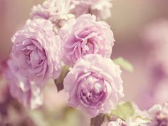 Rose Pink Flowers   Desktop Wallpapers, Backgrounds, Images, Photos, HD