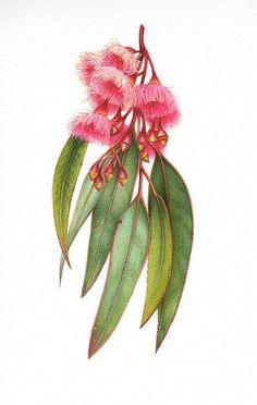 Ironbark Eucalyptus in australian native flowers drawing collection - ClipartXtras Australian Wildflowers, Australian Native Flowers, Australian Art, Botanical Flowers, Botanical Prints, Botanical Gardens, Art Floral, John Heartfield, Impressions Botaniques