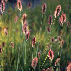 Proven Winners - Red Bunny Tails - Fountain Grass - Pennisetum messiacum pink plant details, information and resources. Fountain Grass, Grass, Ornamental Grasses, Prairie Garden, Grasses Landscaping, Perennials, Plants, Fine Gardening, Grasses Garden