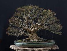 Bonsai 1576