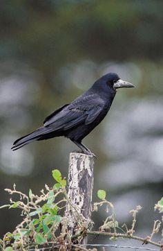 Rook found throughout Europe Reptiles, Mammals, Belgian Blue Cattle, Quoth The Raven, Raven Art, Jackdaw, Crows Ravens, Rabe, All Nature