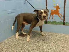 08/02/15-still listed - SUPER URGENT - TODD #A484705 (MUST EXIT ON 8/1) I am a male, blue and white Pit Bull Terrier mix. Shelter staff think I am about 2 years old. I have been at the shelter since Jul 25, 2015.... See More — with Cari C. Ensley, Sarah Sugars, Paul Hupp and Jason Catlin at San Bernardino City Shelter - Phone: 909-384-1304, Address: 333 Chandler Pl., San Bernardino, CA 92408.