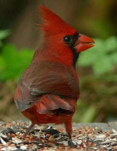 Male Northern Cardinal. Digiscoped with Leica D-lux 4 point & shoot camera through Leica APO Televid spotting scope at 25x magnification https://www.facebook.com/photo.php?fbid=533781549983555=a.533781513316892.136816.355103211184724=1
