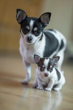 These two remind me of my JJ and Rambo! A mother/son pair with the same markings. Chihuahua Love! www.bluechihuahua.net