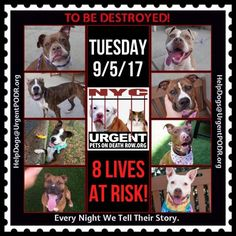 TO BE DESTROYED 09/05/17 - - Info   To rescue a Death Row Dog, Please read this:http://information.urgentpodr.org/adoption-info-and-list-of-rescues/   To view the full album, please click here: http://nycdogs.urgentpodr.org/tbd-dogs-page/ -  Click for info & Current Status: http://nycdogs.urgentpodr.org/to-be-destroyed-4915/
