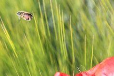 Kostenloses Foto: Schwebfliege, Insekt, Fliegen - Kostenloses Bild auf Pixabay - 797531
