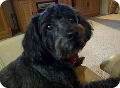 Goodyear, AZ -*Senior*  Cockapoo. Meet Casey, a dog for adoption. http://www.adoptapet.com/pet/17707143-goodyear-arizona-cockapoo