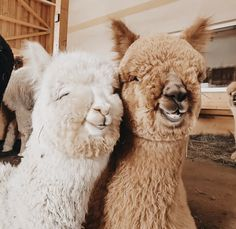 Cute Little Animals, Cute Funny Animals, Cute Dogs, Cute Creatures, Beautiful Creatures, Animals Beautiful, Alpacas, Cute Alpaca, Tier Fotos