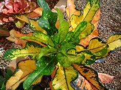 Codiaeum variegatum Afrika