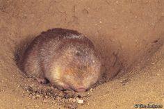 de wintons golden mole