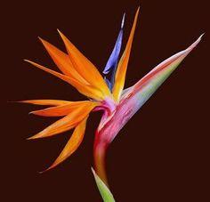 Bird-of-Paradise Flower - Strelitzia.  It belongs to the plant family Strelitziaceae.