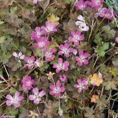 Géranium vivace Orkney Cherry®