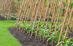 Beans grow with little care, produce an abundance of pods, and can add nitrogen to the soil, making them ideal plants for organic vegetable gardens.