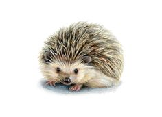 Hedgehog Illustration // Baby Animal Art // Art Print for Nursery // Nature, wildlife