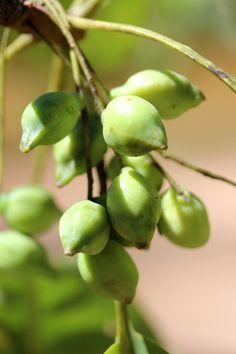 What is the Kakadu Plum? Australian Plants, Australian Bush, Fruit Plants, Fruit Trees, Native Foods, Plum Tree, Stone Fruit, Seed Pods, Growing Tree