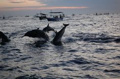 Wild dolphins <3 Bali, Indonesia
