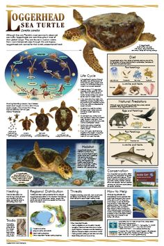 The loggerhead sea turtle is found in many regions around the world. With its large head and distinctive markings, it is a turtle that stands out from others in the sea. Sea Turtle Diet, Turtle Life, Sea Turtle Facts, Baby Turtles, Sea Turtles, Loggerhead Turtle, Turtle Conservation, Wildlife Conservation, History Posters