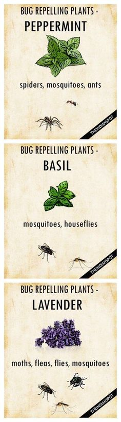 Insect repelling plants