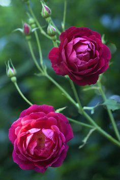 ~Hybrid Tea Rose: Rosa 'Gruss an Teplitz' (Austria-Hungary, before 1897) ~dark pink purple roses