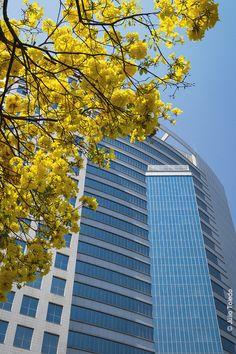 """Ipê-amarelo (Tabebuia alba) - """"Lifecenter"""", Av. do Contorno, Serra, Belo Horizonte, MG."""