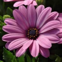 Serenity™ Pink Osteospermum
