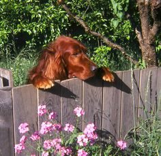 irish setter - cute