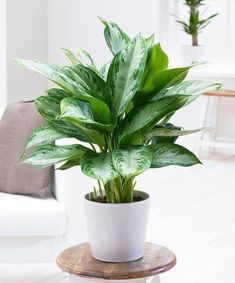 You will find some great office plants ideas for your working space here. We promise we did our best in finding you great office plants ideas… Ficus Pumila, Large Indoor Plants, Indoor Planters, Easy House Plants, Interior Design Plants, Interior Decorating, Growing Plants Indoors, Decoration Plante, Low Light Plants