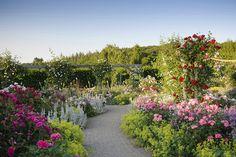 The Shrub Rose Garden in summer at RHS Garden Rosemoor.
