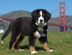 Burnese mountain doggy. Too big, and they have too short of a life span.  Adorable nonetheless.
