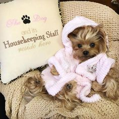 Awesome cute dogs detail are offered on our web pages. Have a look and you wont . - Awesome cute dogs detail are offered on our web pages. Have a look and you wont be sorry you did. Cute Small Dogs, Cute Little Puppies, Cute Little Animals, Cute Dogs And Puppies, Baby Puppies, Cute Funny Animals, Maltese Puppies, Yorkie Clothes, Teacup Yorkie