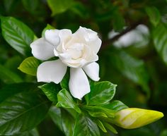 Gardenia, if only you could smell them too...