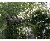 white rose-garden