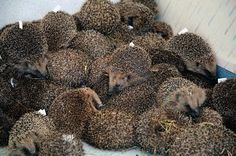 a prickle of hedghogs