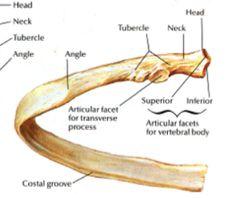 Anatomy 2111 > Gubar > Flashcards > chapter 7   StudyBlue
