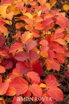 Dwarf Fothergilla - Fall foliage :: Credit: Doreen Wynja Dwarf Fothergilla has outstanding fall color and makes a great base shrub for hedges and groupings.