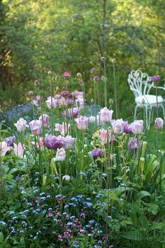 Purple and pink tulips with Shabby soul: Sunday garden - Roserogpatina - Shady perennials