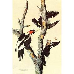 "Buyenlarge 'Ivory-Billed Woodpecker' by John James Audubon Graphic Art Size: 42"" H x 28"" W x 1.5"" D"