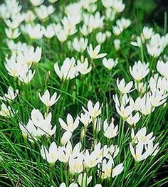 Rain Lily White (Zephyranthes Candida) - cheery, versatile little blooms - so attractive to butterflies. Garden Bulbs, Planting Bulbs, Shade Garden, Garden Plants, Planting Flowers, Flowering Plants, Moon Garden, Dream Garden, Outdoor Plants