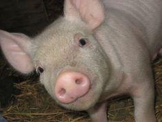 Killer Pig Virus Decimating U. Save Our Souls, Jim Bakker, Cute Piglets, Savannah Chat, Pigs, Animals, Pork, Baby Piglets