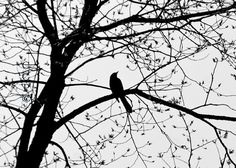 Black Bird Nature Photography Tree Black and White Fine Art Photography Silhouette In A Lace Tree Print