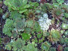 Sempervivum mosaic
