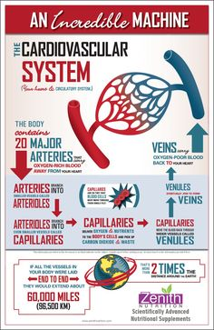 An Incredible Machine -  The Cardiovascular System. More about Arteries and Veins. The body contains 20 major arteries. Best supplements from Zenith Nutrition. Health Supplements. Nutritional Supplements. Health Infographics