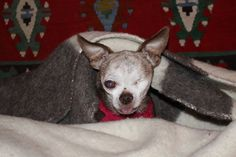 """As you can see, I'm staying warm inside a wool blanket cuz it's really cold and snowing like the dickens outside right now. My eye is feeling a lot better, and I'm doing everything the doctor said to do ... I plan on keep my eye, dang it! I'll be off to bed soon. Goodnight, everybody. Love, Harley """"A little dog with a big dream!"""""""