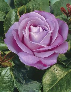 ROSE BUISSON VIOLET