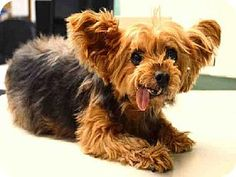 Brooklyn, NY - Yorkie, Yorkshire Terrier Mix. Meet VERONICA, a dog for adoption. http://www.adoptapet.com/pet/11856081-brooklyn-new-york-yorkie-yorkshire-terrier-mix
