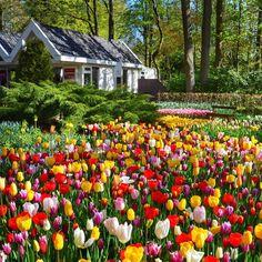 House n tulips... #nikond5100 #keukenhof2016 #tulip #spring #lisse by jessica0jeje