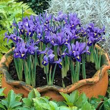 Wild Blue Iris reticulata 'Harmony' Flower Bulbs Plant now for Blue Hardy Perennial Flowers every Early Spring Shipping Begins Deer Resistant Perennials, Hardy Perennials, Flowers Perennials, Royal Blue Flowers, Purple Flowers, Summer Flowers, Pond Plants, Garden Plants, Iris Reticulata